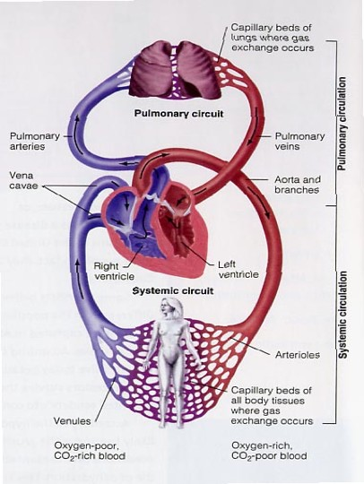 Cardiovascular System Disorders in addition RE028b in addition M46563 in addition Circulation Du Sang additionally Gas Exchange. on circulatory system diagram