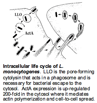 Intracellular Life Cycle of L. monocytogenes