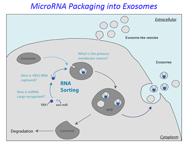 MicroRNA Packaging into Exosomes