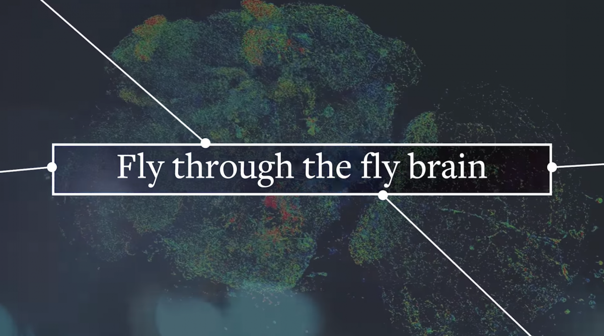 Fly through the Fly Brain