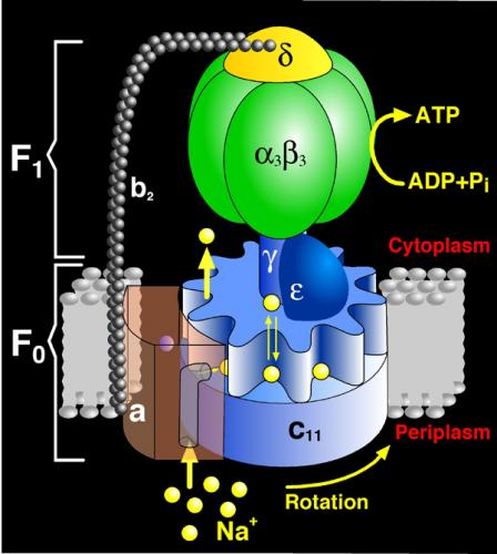 Atp Synthase Structure...